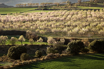 Almond trees in springtime