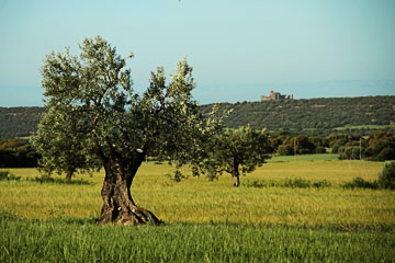 Olive tree and wheath field